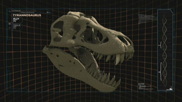"Known as the ""king of the tyrant lizards,"" T-Rex was one of the largest carnivores of all time."