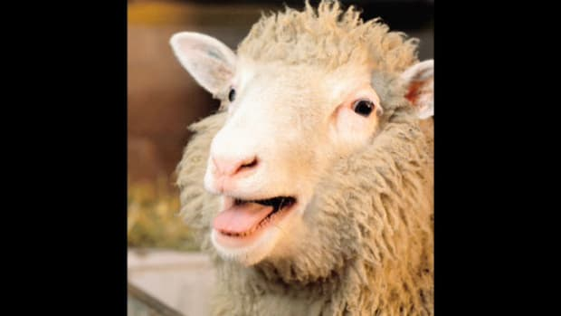 On February 22, 1997, scientists in Scotland announce the creation of the world's first mammal to have been successfully cloned from an adult cell. Alan Colman, one of the scientists involved, describes the genetic makeup of Dolly the sheep, whose birth on July 5, 1996, had been kept a secret for almost eight months.