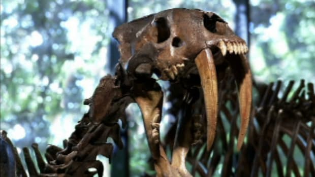 The smilodon, or sabertooth cat, is the prehistoric ancestor of all big cats roaming the earth today and was one of the most feared predators of its time.