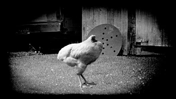 In the 1940s, a chicken lived for two years without his head.