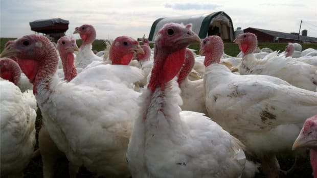 At the Jennie-O turkey store, getting hens from the farm to your table is a highly specialized process.