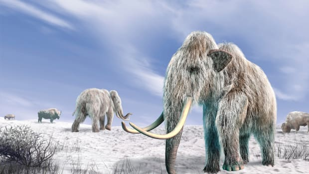hith-wooly-mammoth-clone-istock_000024492178_xxxlarge-2