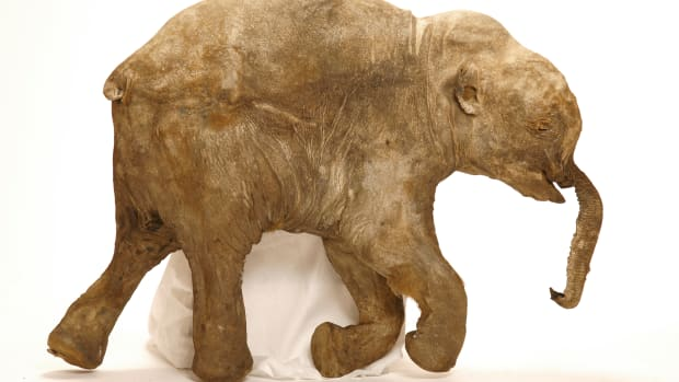 hith-x-rays-provide-glimpse-into-short-lives-of-baby-mammoths-2