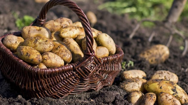 hith-after-168-years-potato-famine-mystery-solved-2
