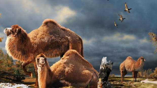 hith-giant-ancient-camel-roamed-the-arctic-2