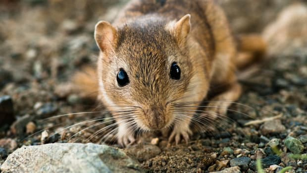 hith-black-death-gerbil-istock_000018760211large-2