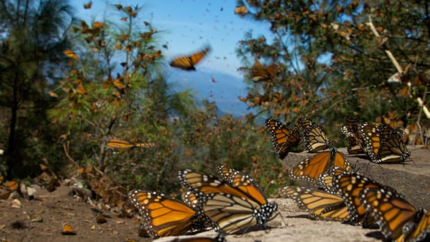 monarch-butterflies-migrate-to-central-mexico