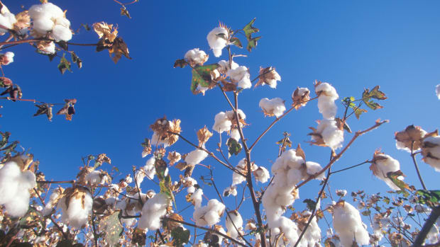 cotton-field-in-tucson-az