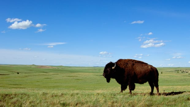 ca. 1994, North Unit, Theodore Roosevelt National Park, North Dakota, USA — Bull Bison on Prairie — Image by © Tom Bean/CORBIS