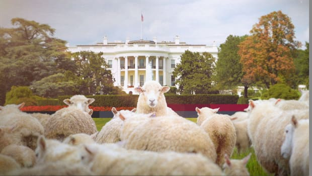 Why Sheep Mowed the White House Lawn