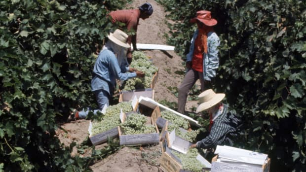 Farm workers picking grapes
