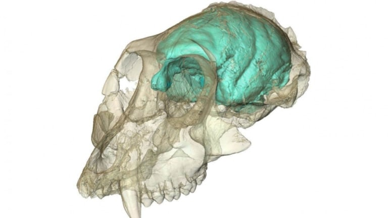 Scientists Decode Secrets of 15-Million-Year-Old Monkey Brain