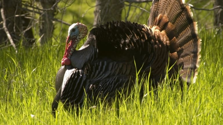 Turkey Talk: The Story Behind Your Thanksgiving Bird