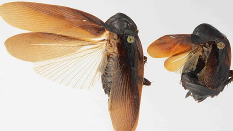 New Cockroach Species Arrives in New York