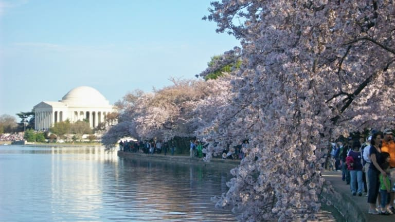 When Washington D.C.'s Iconic Cherry Blossoms Had to be Removed