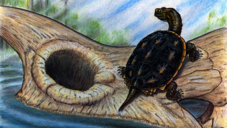 Survivors in a Half Shell: Turtles Withstood Dinosaur Die-Out