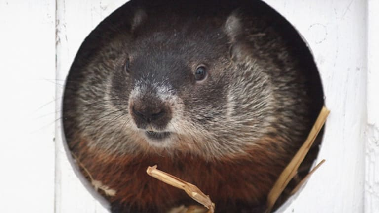 Beyond Punxsutawney: Meet the Other Groundhogs