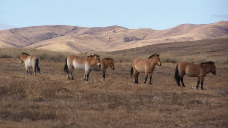 Horse Domestication Happened Across Eurasia, Study Shows