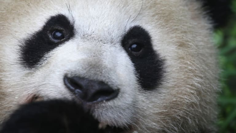 Panda Diplomacy: The World's Cutest Ambassadors