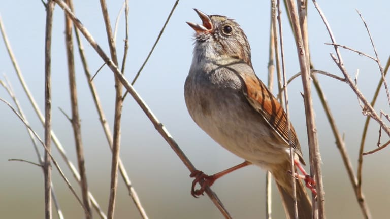 These Birds Have Sung the Same Songs for 1,000 Years