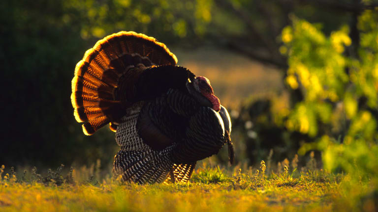 How the Great Depression Helped Spare Wild Turkeys From Extinction