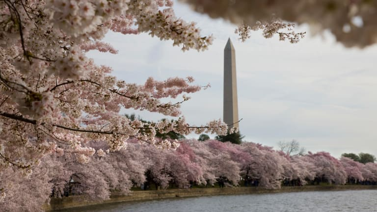 Japanese cherry trees planted along the Potomac