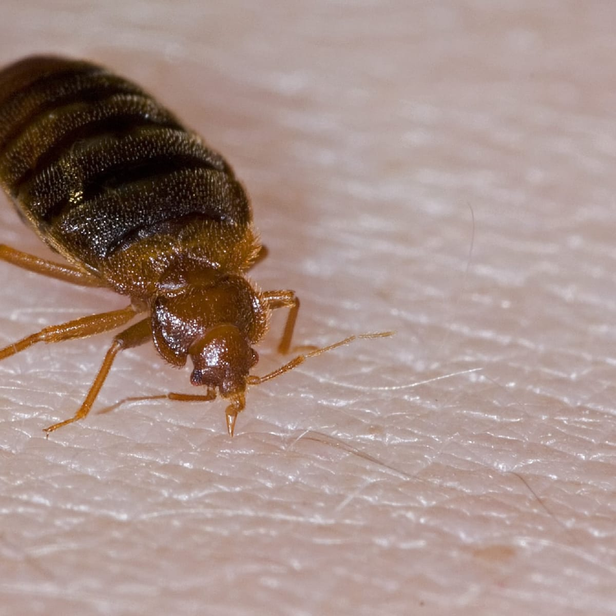 They Re Back A Bed Bug History History