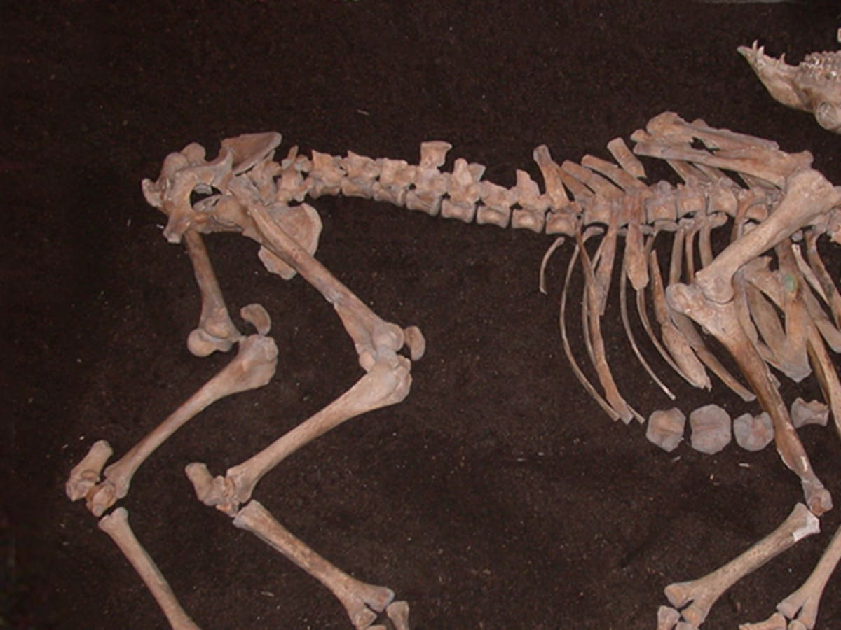 Ottoman War Camel Skeleton Found In Austrian Basement History