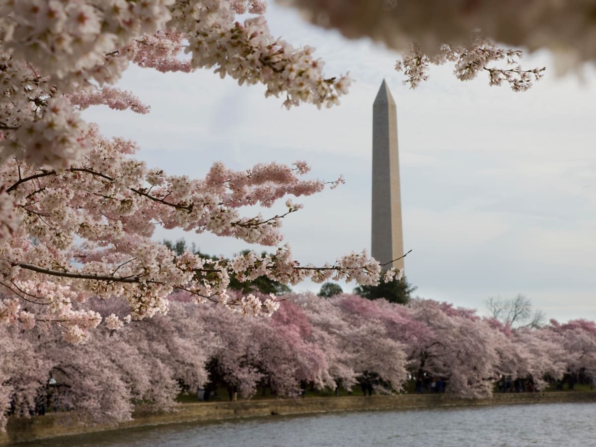 Japanese Cherry Trees Planted Along The Potomac History