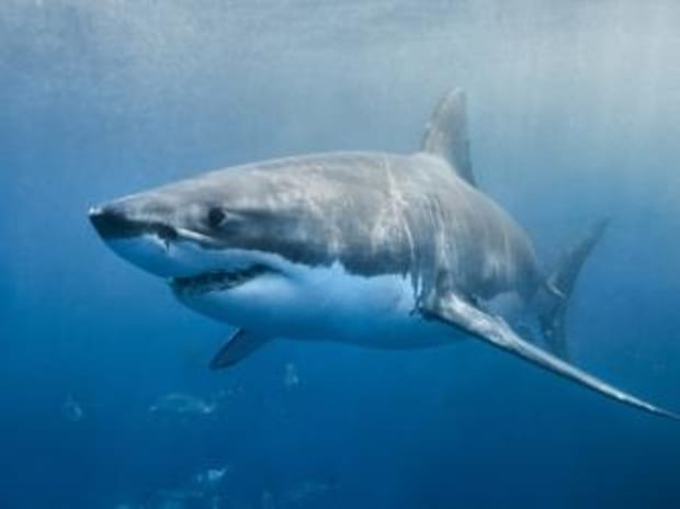 """The Real-Life """"Jaws"""" That Terrorized the Jersey Shore - HISTORY"""