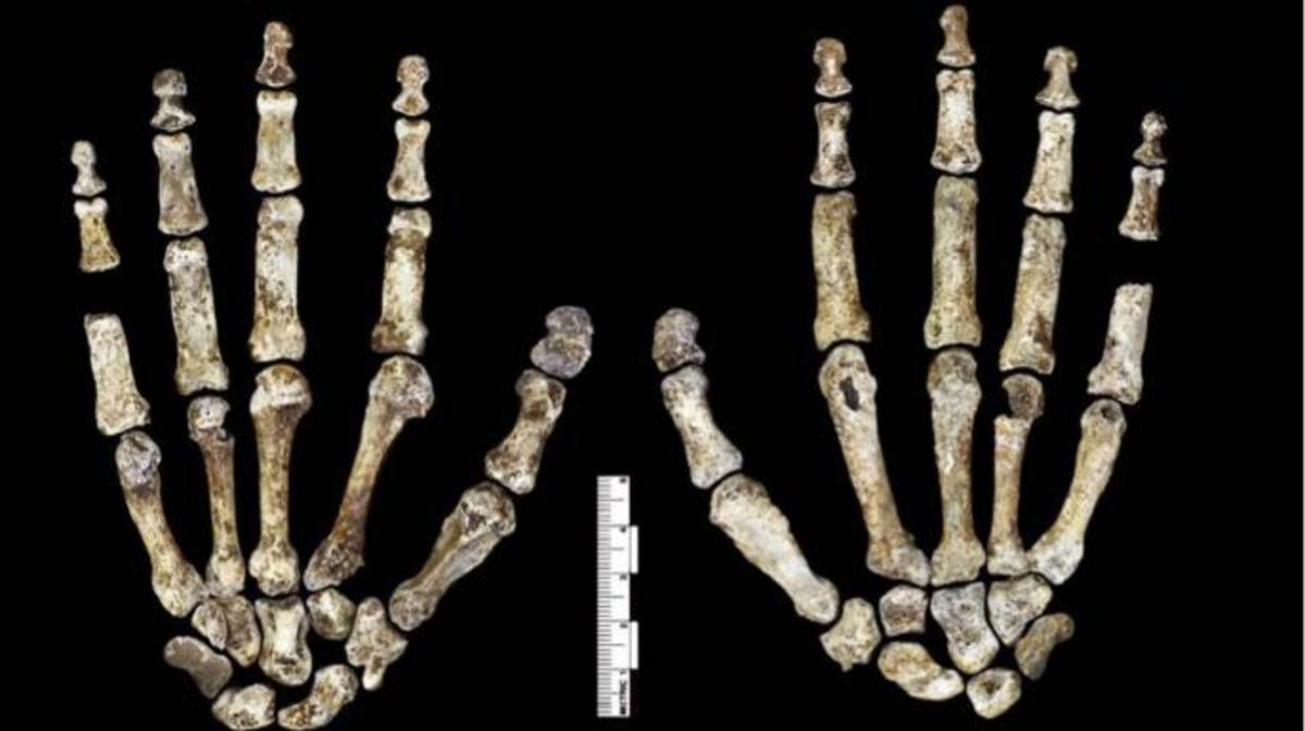 H. naledi's hands, with with curved fingers. (Credit: Robert Clark/National Geographic, Lee Berger/University of the Witwatersrand)
