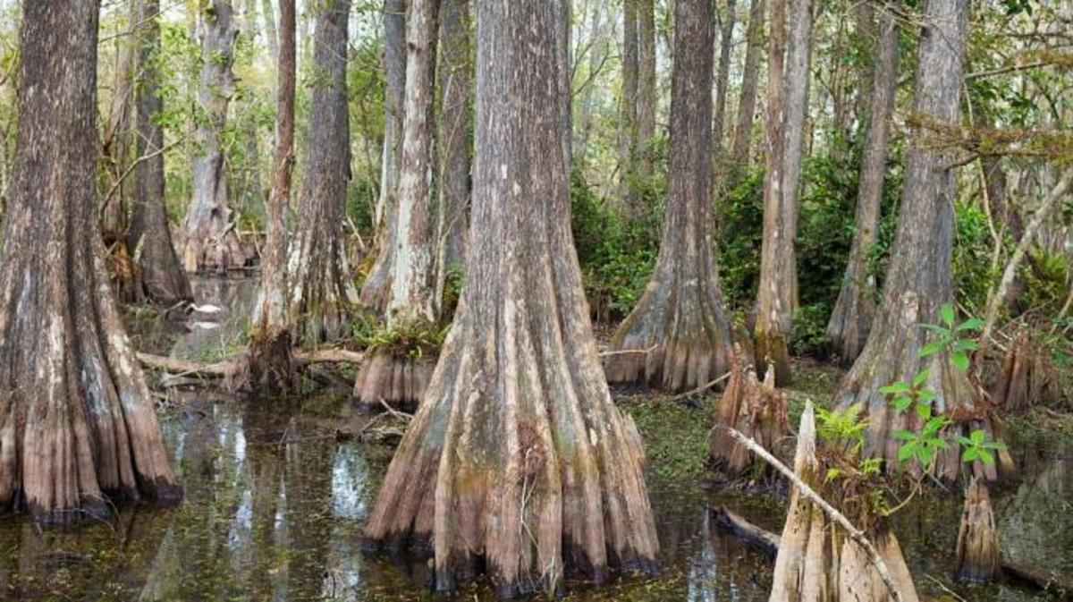 Cypress swamps in the Florida Everglades, similar to those crossed by de Vaca's expedition.