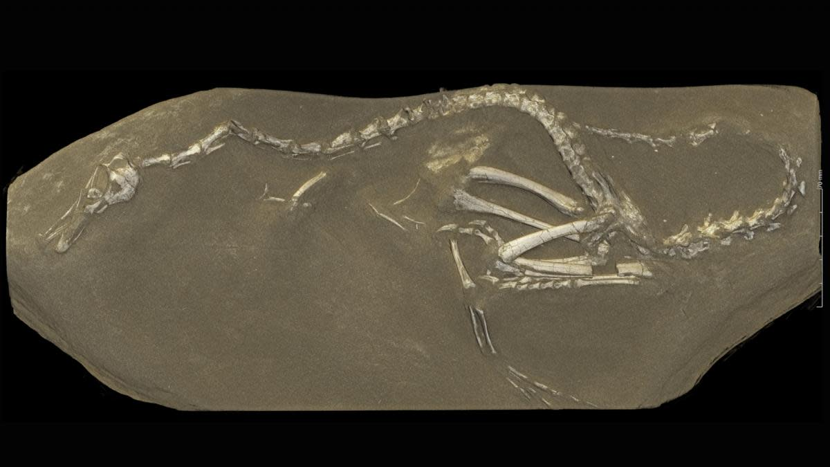 View from a 3-D rendering of the Halszkaraptor escuilliei dinosaur fossil, computed from data obtained at the European Synchrotron Radiation Facility in Grenoble, France. The creature, about 18 inches tall, had a bill like a duck but teeth like a croc's, a swan-like neck and killer claws. (Credit: Paul Tafforeau/ESRF via AP)