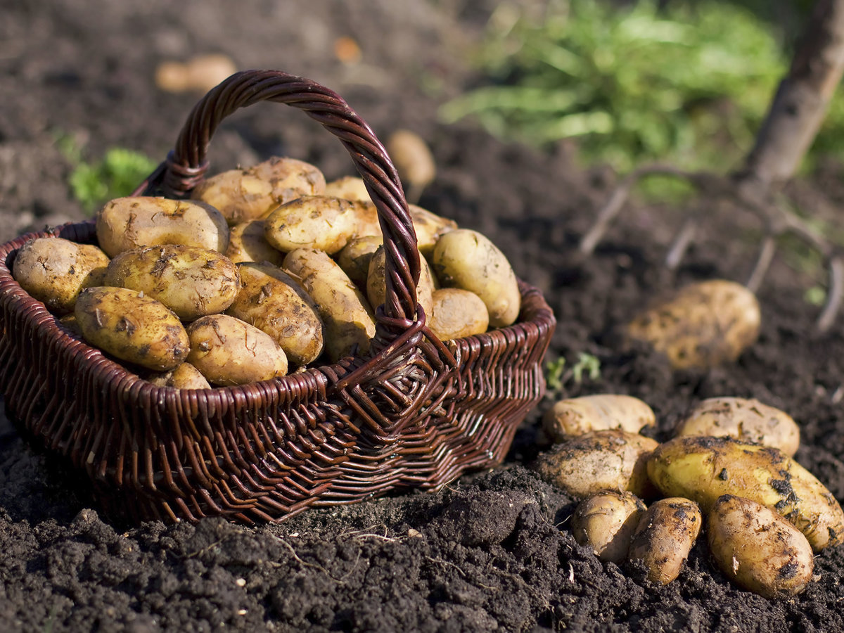 After 168 Years, Potato Famine Mystery Solved - HISTORY