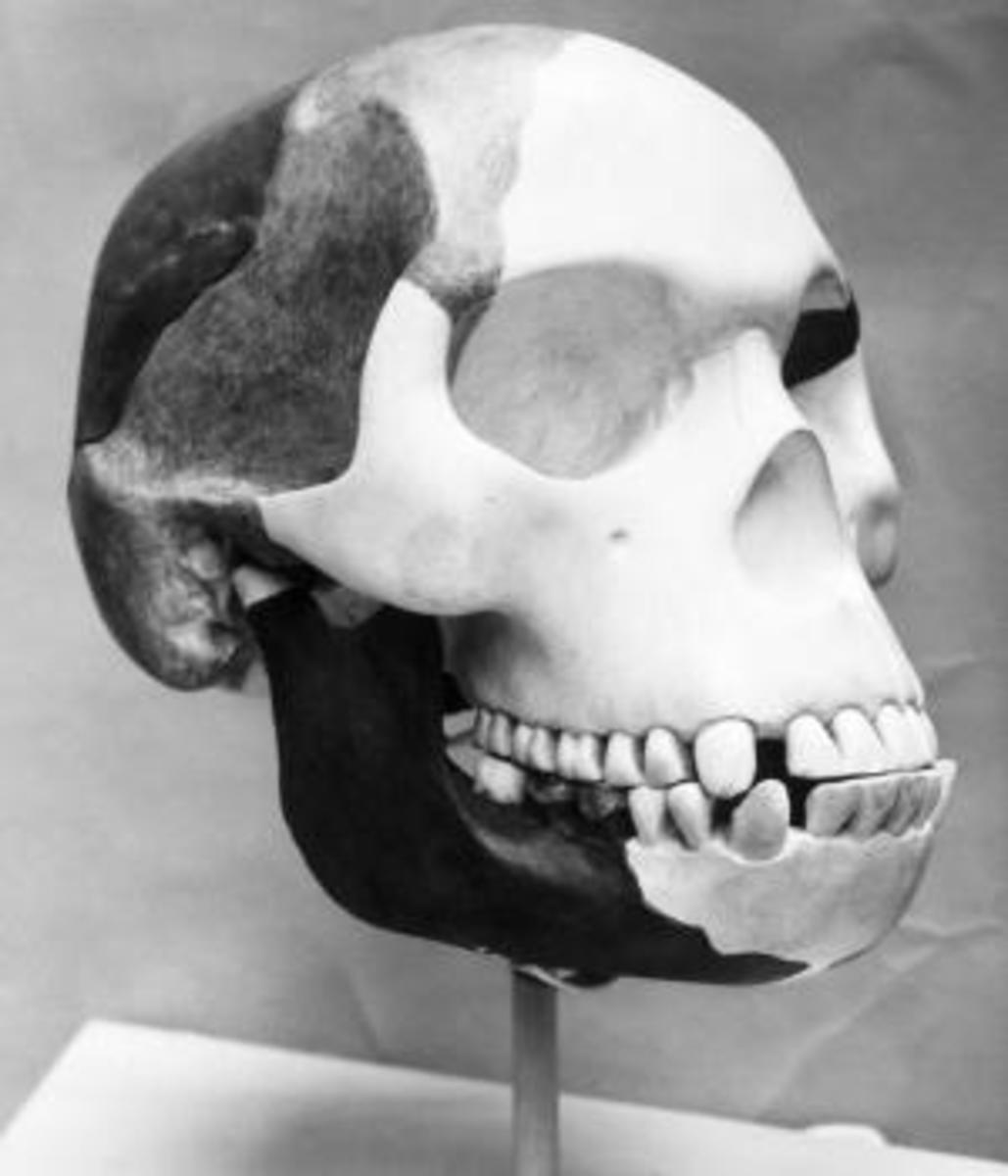 "The first cast of the celebrated ""Piltdown Man."" ("