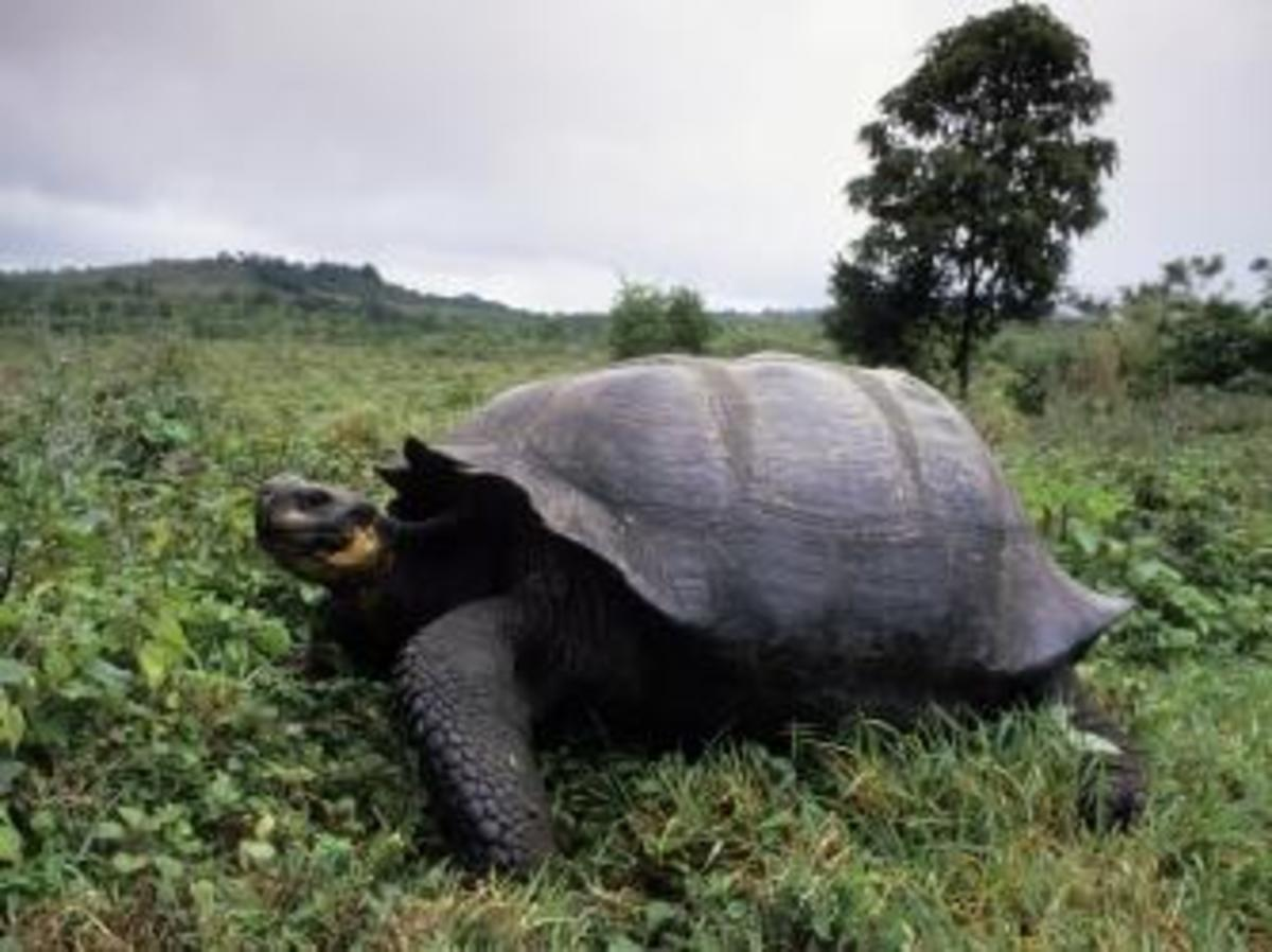 Galapagos Tortoise on the  Santa Cruz highlands. (Credit: Wolfgang Kaehler/Getty Images)