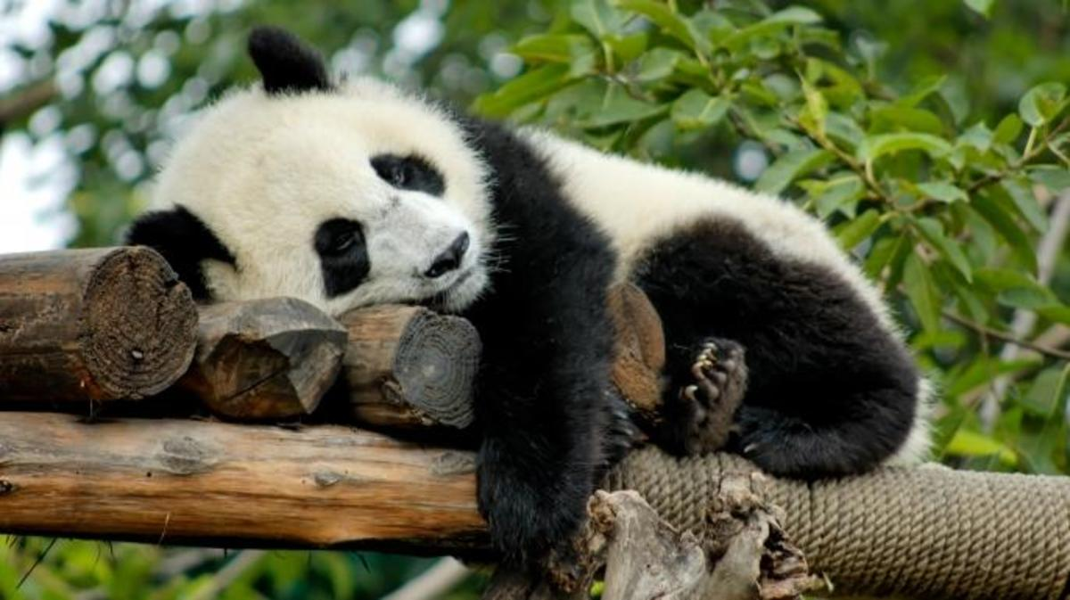 Giant Panda is resting on a platform made of trees in Chengdu, China. (Credit: VanWyckExpress/Getty Images)