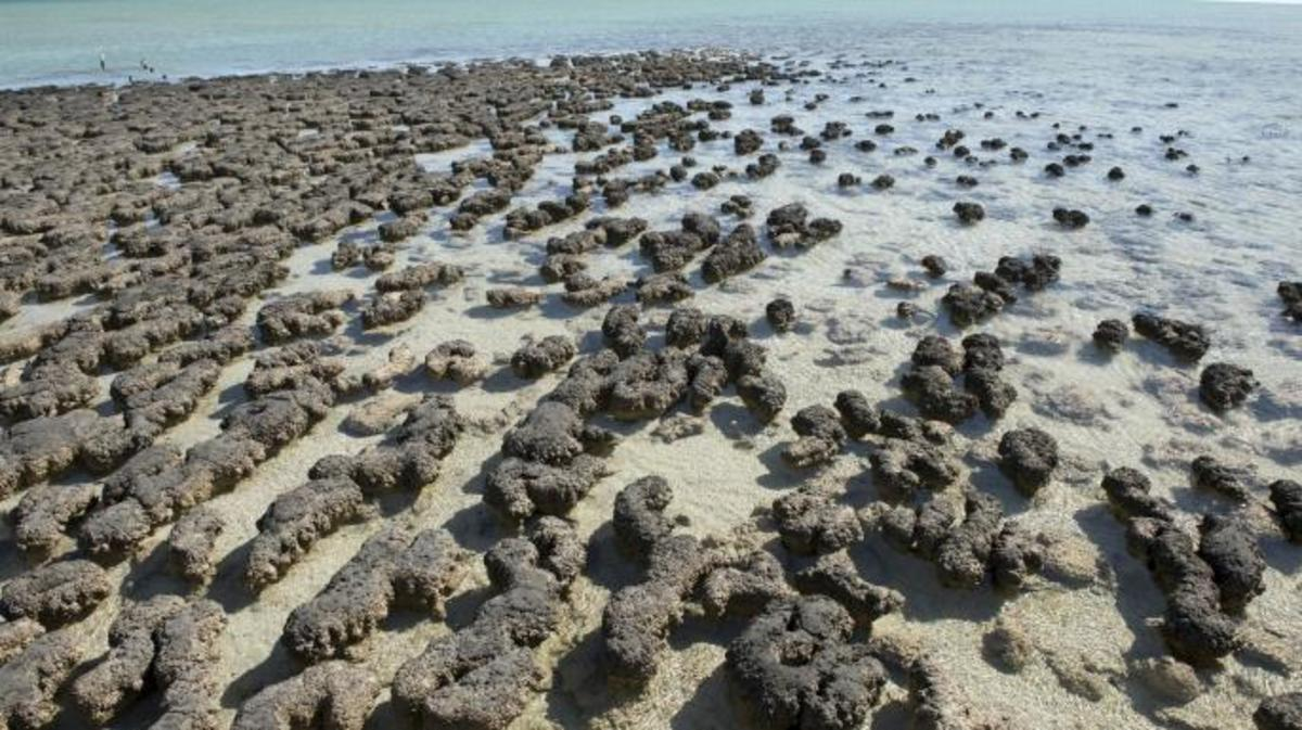 Stromatolites underwater at Shark Bay, Western Australia.