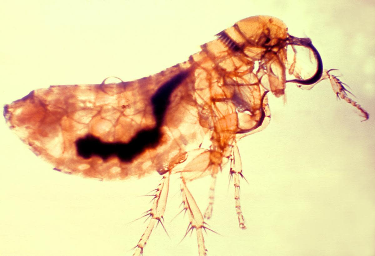 A flea infected with the plague. (Credit: Smith Collection/Gado/Getty Images)