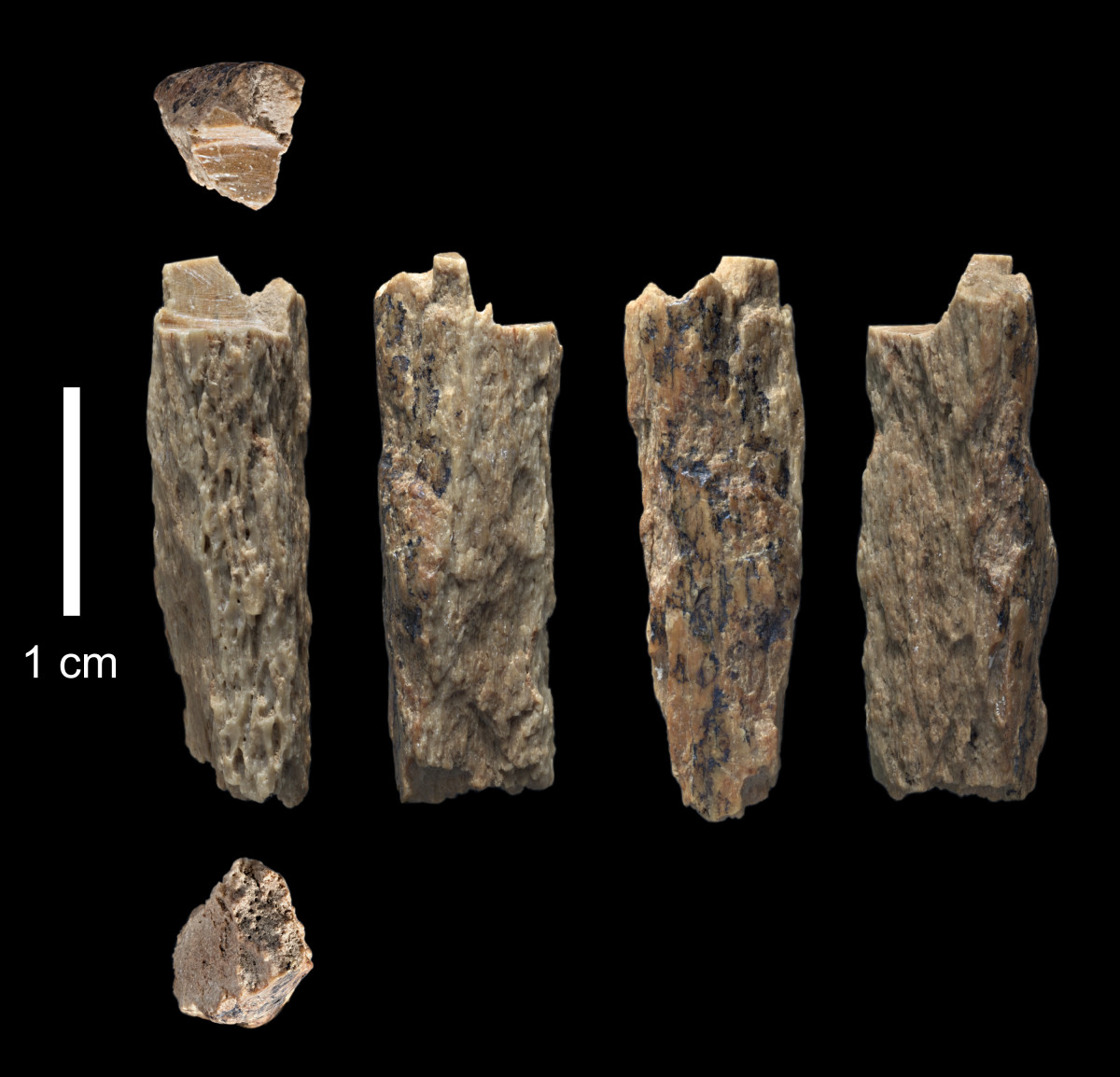 "This bone fragment (""Denisova 11″) was found in 2012 at Denisova Cave in Russia and represents the daughter of a Neandertal mother and a Denisovan father."