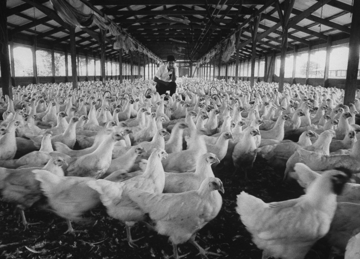 Poultry producer M. H. (Bill) Simmons sitting amid a flock of his chickens in 1963.