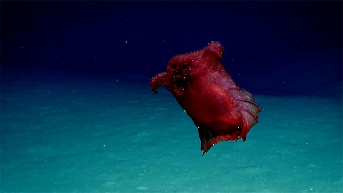"Enipniastes eximia, the ""headless chicken monster."""