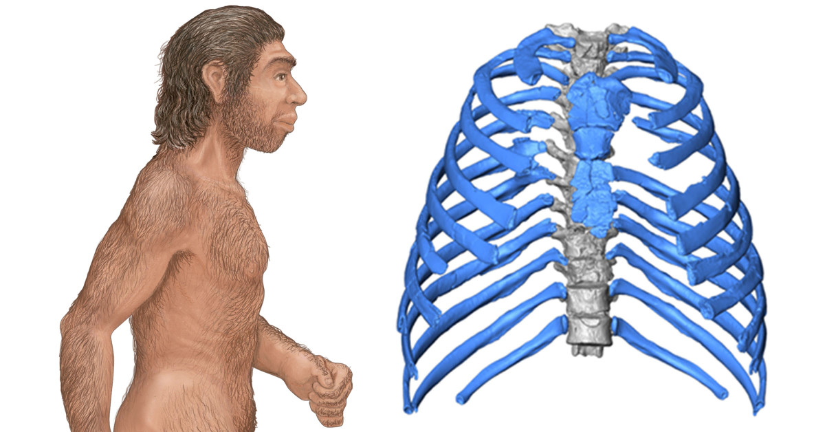 3D virtual reconstruction of Neanderthal ribs are providing new insights on the evolution of humans.