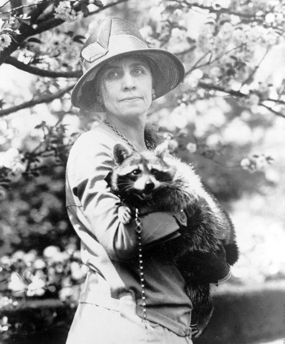 Coolidge raccoon
