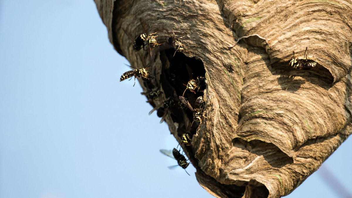 Weaponized Insects: Wasp Nest Catapult