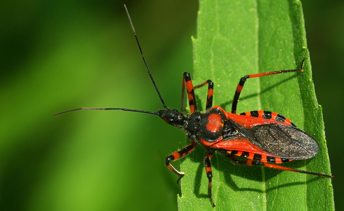 Weaponized Insects: Assassin Bugs