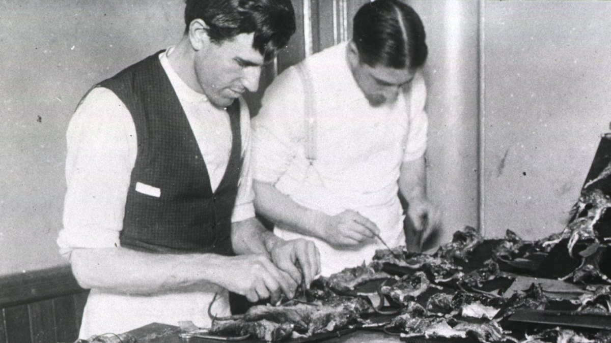 Two men dissecting rats believed to be spreading the plague.
