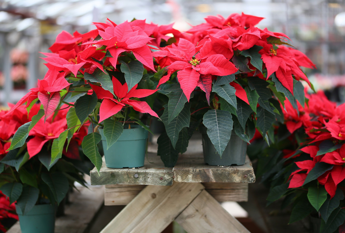 Christmas Traditions: Poinsettias