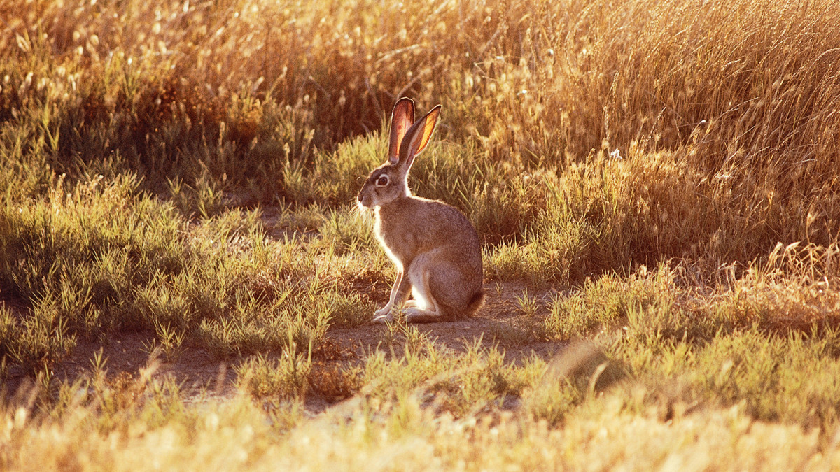 A Blacktail jackrabbit. Lewis noted the rabbit with remarkable ears could leap 18 to 20 feet in a single bound.