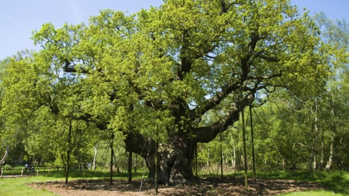 Major Oak. Britain's Oldest Tree.